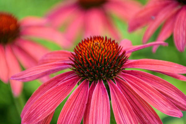 Photograph - Echinacea  by Jeanne May