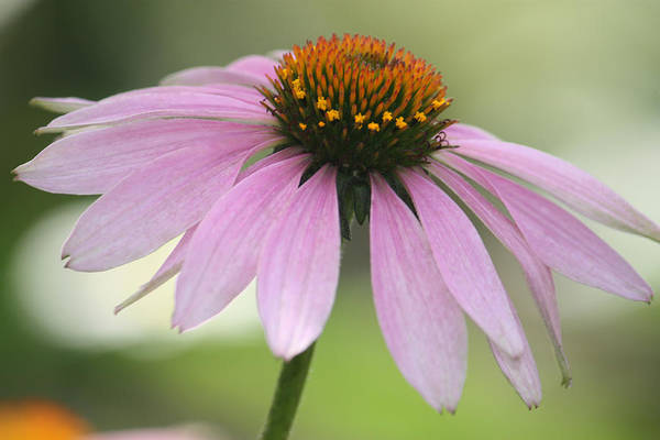 Bokah Photograph - Echinacea Pink Coneflower by Penny Hunt