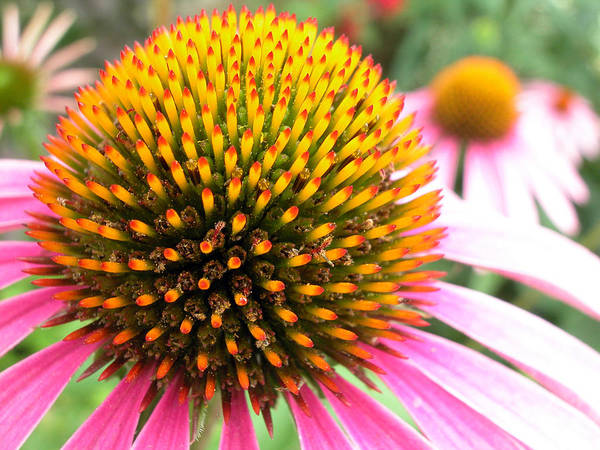 Photograph - Echinacea - Purple Cone Flower by Rob Huntley