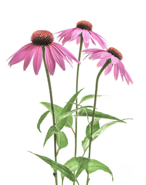 Wall Art - Photograph - Echinacea Purpurea Flowers by Elena Elisseeva