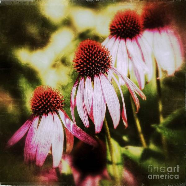 Photograph - Echinacea Purpurea Flowers by Nick  Biemans