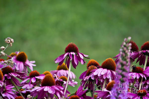 Photograph - Echinacea Purpurea by Ms Judi