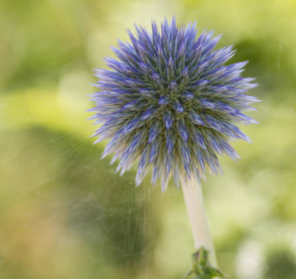 Photograph - Echinops Blue by Diane Fifield