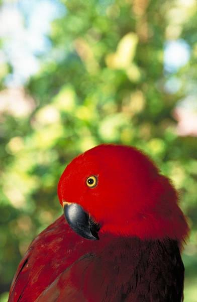 Eclectus Parrots Photograph - Eclectus Parrot by F. Stuart Westmorland
