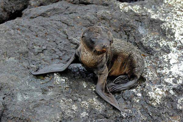 Galapagos Islands Photograph - Ecuador, Galapagos, South Plaza Island by Kymri Wilt