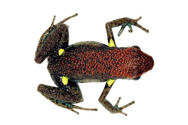 Poison Dart Frog Photograph - Ecuador Poison Frog by Dr Morley Read/science Photo Library
