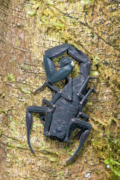Ecuador Photograph - Ecuadorian Black Scorpion by Dr Morley Read