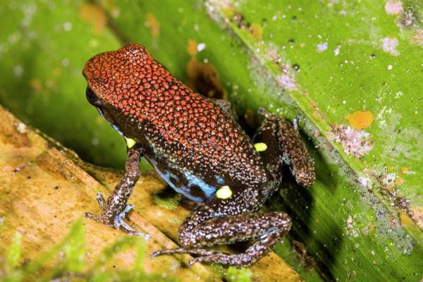 Poison Dart Frog Photograph - Ecuadorian Poison Frog by Dr Morley Read/science Photo Library