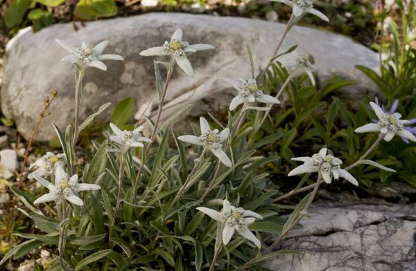 Wall Art - Photograph - Edelweiss (leontopodium Alpinum) by Science Photo Library