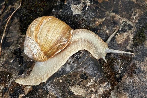 Eastern Europe Wall Art - Photograph - Edible Snail by Bob Gibbons