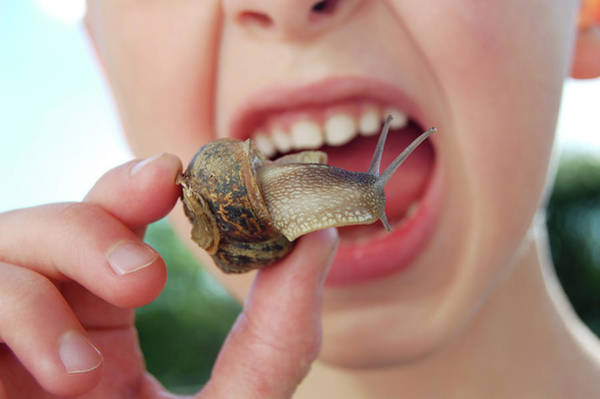 Molluscs Wall Art - Photograph - Edible Snail by Public Health England