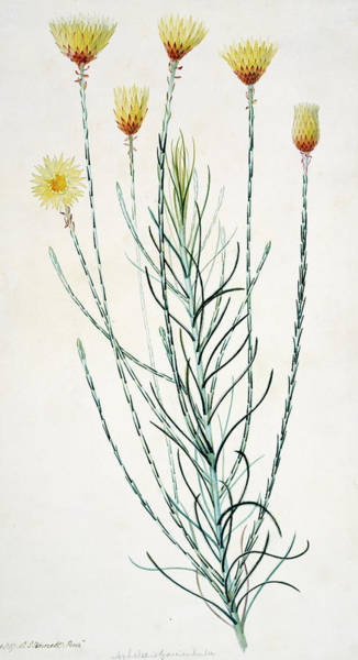 Asteraceae Photograph - Edmondia Sesamoides by Natural History Museum, London/science Photo Library