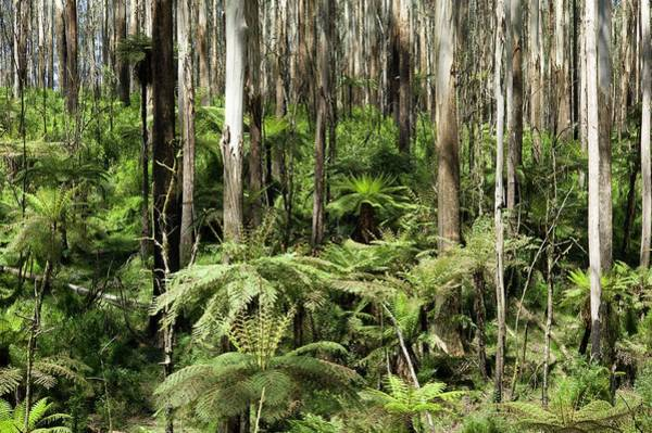 Eucalyptus Photograph - Effect Of Bush-fire On Forest Structure by Dr Jeremy Burgess