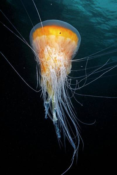 Hydrozoan Photograph - Egg-yolk Jellyfish by Alexander Semenov/science Photo Library