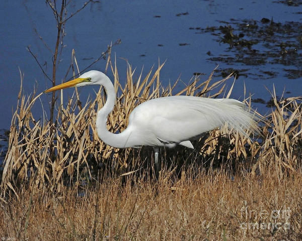 Photograph - Egret At Lacassine Pool by Lizi Beard-Ward