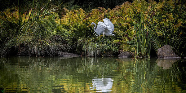 Photograph - Egret At The Lake by Chris Lord