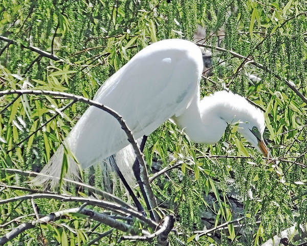 Photograph - Egret Avery Island by Lizi Beard-Ward