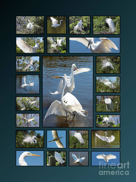 Photograph - Egret Collage  by Carol Groenen