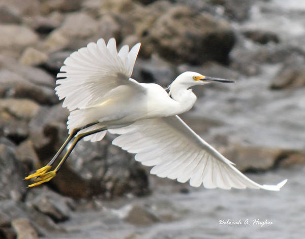 Egret Flight Art Print