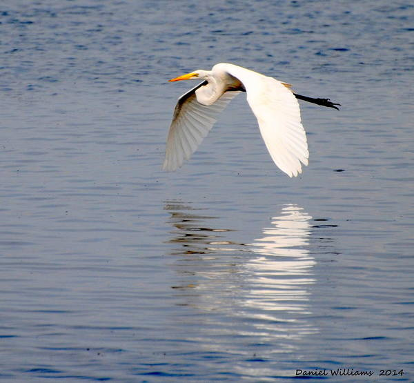 Photograph - Egret Flying At Harkers Island by Dan Williams