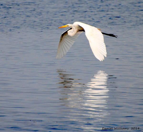 Egret Flying At Harkers Island Art Print