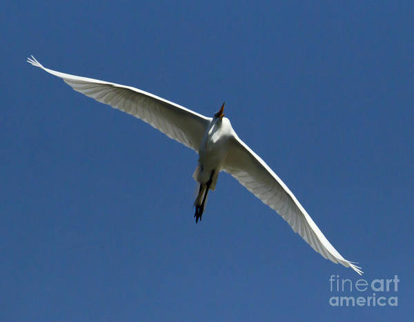 Coosa River Photograph - Egret In Flight   #6749 by J L Woody Wooden