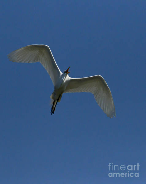Coosa River Photograph - Egret In Flight   #6750 by J L Woody Wooden