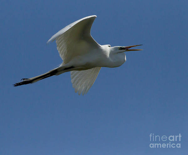 Coosa River Photograph - Egret In Flight   #6768 by J L Woody Wooden