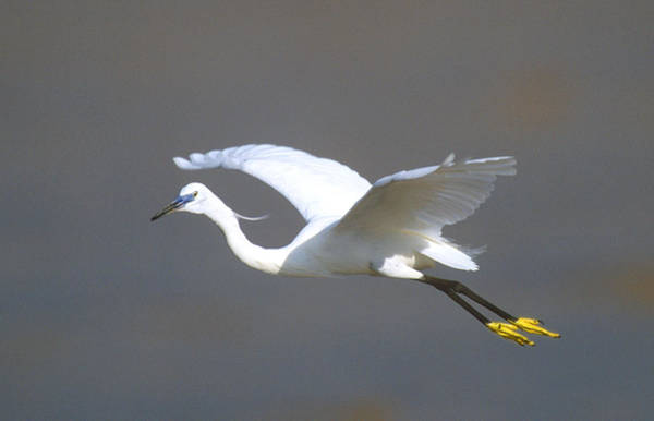 Aviary Photograph - Egret In Flight Kenya Africa by Panoramic Images