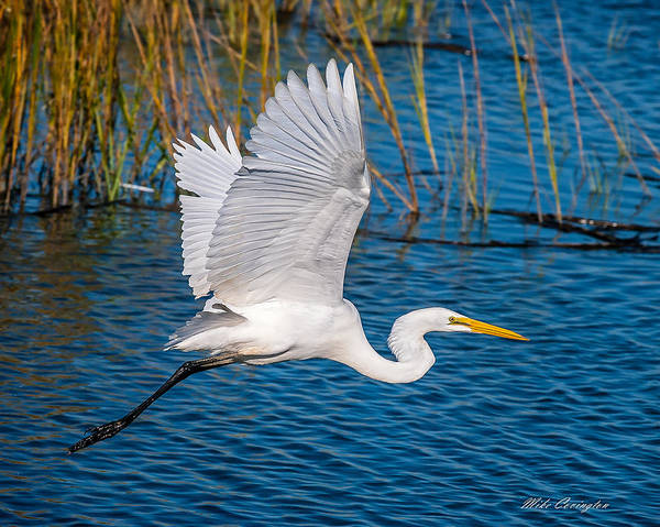 Photograph - Egret In Motion by Mike Covington