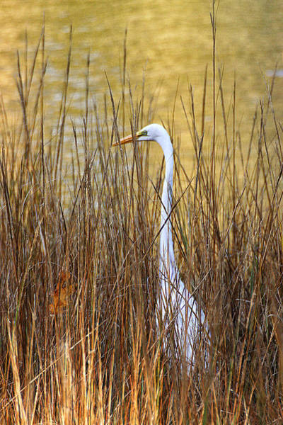 Photograph - Egret In The Grass by William Selander