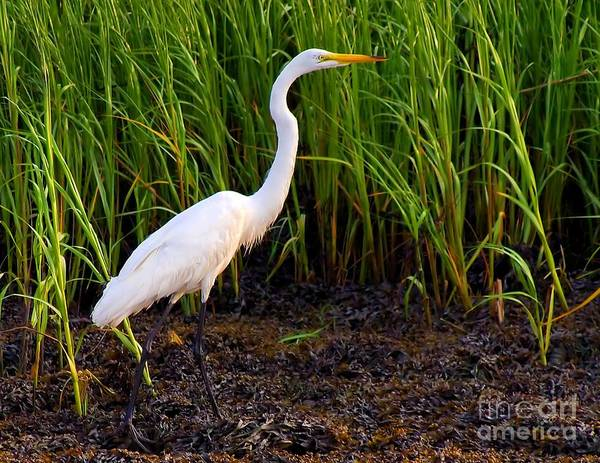 Photograph - Egret In The Marsh by Nick Zelinsky