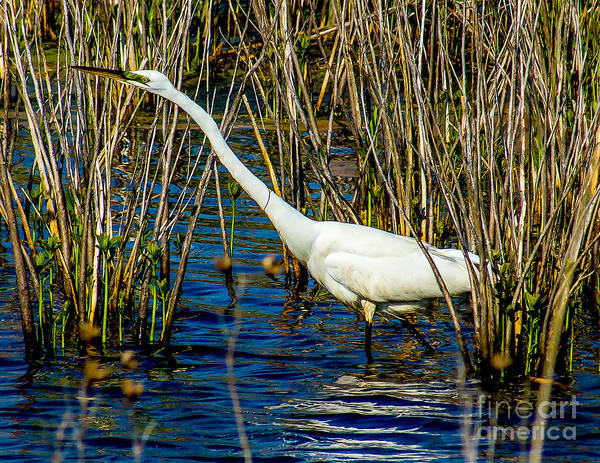 Photograph - Egret In The Reeds by Nick Zelinsky