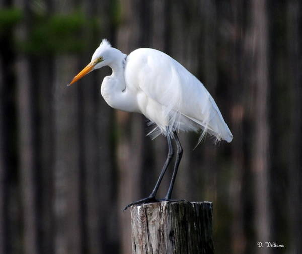 Photograph - Egret In The Wind by Dan Williams