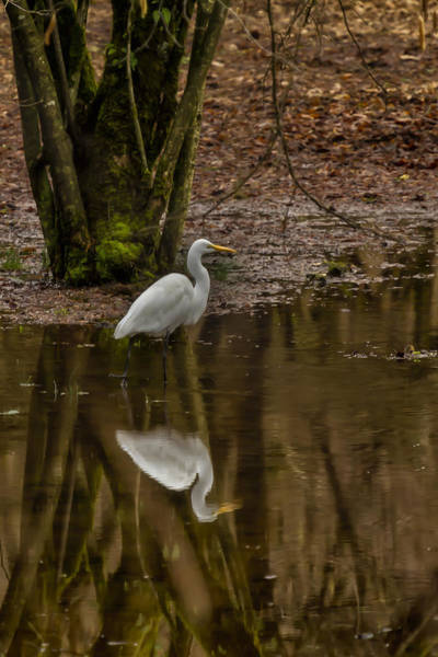 Photograph - Egret Mirrored by Belinda Greb