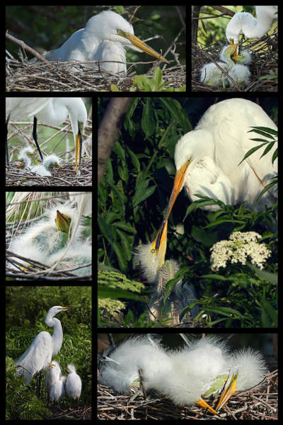 Photograph - Egret Mother And Chicks by Dawn Currie
