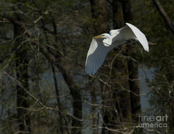 Coosa River Photograph - Egret Nest Building   #5200 by J L Woody Wooden