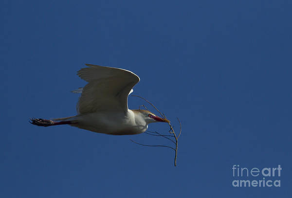 Coosa River Photograph - Egret Nest Building   #7202 by J L Woody Wooden