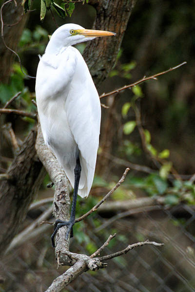 Photograph - Egret On A Limb by William Selander