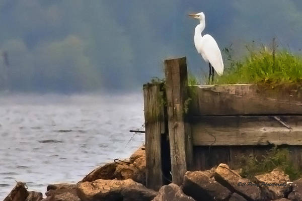Egret On Dock Art Print by Bill Perry