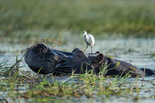 Hippo Photograph - Egret Standing On Hippopotamus Head by Paul Souders