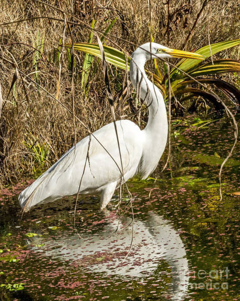 Photograph - Egret Wading by Kate Brown