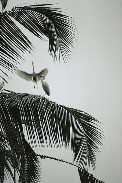 Wall Art - Photograph - Egrets In A Palm Tree, Bali, Indonesia by Michael Nichols