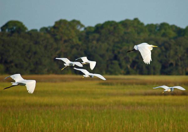Egrets In Flight On Jekyll Island Art Print