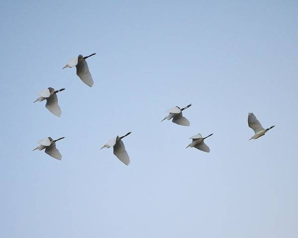Photograph - Egrets In Formation by Kim Bemis