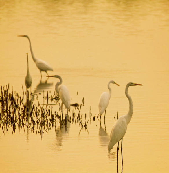 Photograph - Egrets In Pond by Daniela Duncan