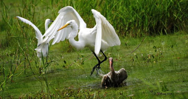 Photograph - Egrets Taking Flight by Dan Williams