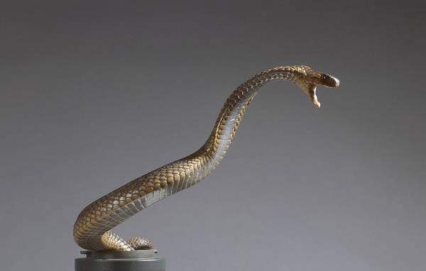 Asps Photograph - Egyptian Cobra by Science Photo Library