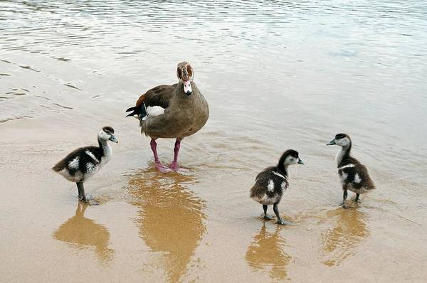 Mother Goose Photograph - Egyptian Goose And Young by Peter Chadwick/science Photo Library