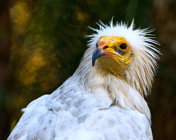 Photograph - Egyptian Vulture by Ginger Wakem
